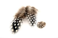 Guineafowl Feathers Stock Image