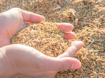 Hände auf ungeschältem Reis im Sonnenuntergang Lizenzfreies Stockbild