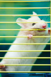 Hamster In Cage Royalty Free Stock Photo