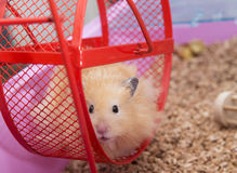 Hamster in wheel Royalty Free Stock Photos