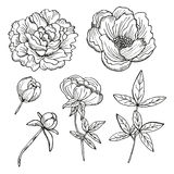 Hand drawn peonies set Stock Photo