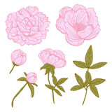 Hand drawn peonies set Royalty Free Stock Photography