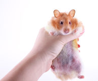 Hand holding hamster Stock Images