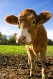 Happy Calf Stock Photos