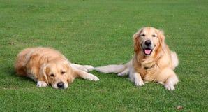 Happy and sad dogs Stock Photos