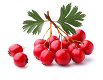 Hawthorn berry Royalty Free Stock Images