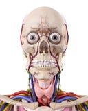 The head anatomy Royalty Free Stock Image
