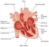 The heart Royalty Free Stock Photography