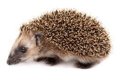 Hedgehog. Small mammal with spiny hairs Stock Photos