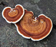 Hemlock Varnish Shelf / Ganoderma tsugae Royalty Free Stock Image