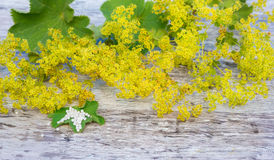 Herb lady's mantle, globules Stock Photos
