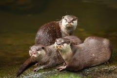Herd of Otter Stock Photo
