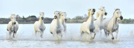Herd of White Camargue horses running through water Stock Photography