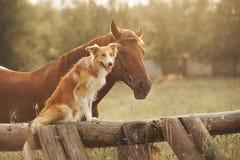 Het de rode hond en paard van border collie Stock Foto