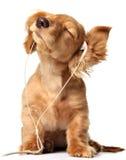 Het groeven van puppy Royalty-vrije Stock Afbeelding