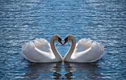 Het hart van de zwaan Royalty-vrije Stock Afbeeldingen