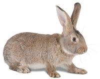 Het landbouwbedrijfdier van het konijn Royalty-vrije Stock Foto