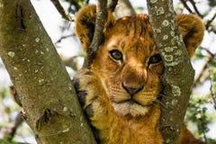 Het leuke Portret van de Welp van de Leeuw Royalty-vrije Stock Foto