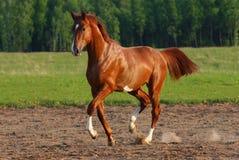 Het paard van de passage Royalty-vrije Stock Fotografie