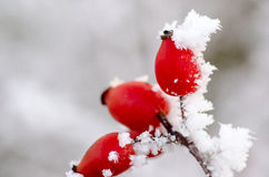 Hoar frost on rose hips Stock Photography