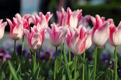 Holland Chic tulips Stock Photos