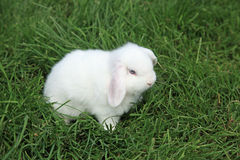 Holland Lop Royalty Free Stock Image