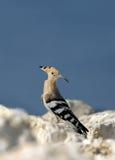 Hoopoe, migratory bird of Bhrain Royalty Free Stock Photography