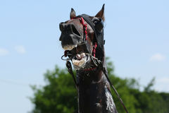 Horse during harness race Royalty Free Stock Photography