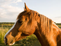 Horse head Stock Images