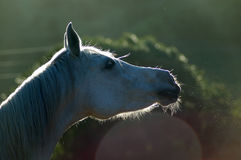 Horse snort Stock Images