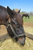 Horses Eating Royalty Free Stock Image