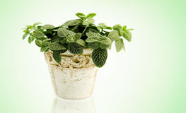 Houseplant Royalty Free Stock Photography