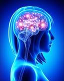 Human active brain Stock Image
