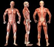 Human anatomy full body muscles Royalty Free Stock Photos