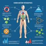 Human Body Anatomy Infographic Design Royalty Free Stock Image