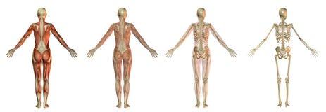 Human body illustrations Royalty Free Stock Photo