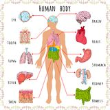 Human body medical demographic Stock Images