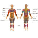 Human body, muscle Stock Photography