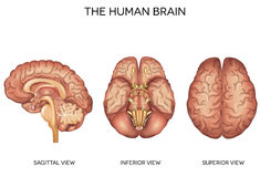 Human brain detailed anatomy Royalty Free Stock Images