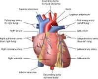 Human Heart Royalty Free Stock Photography