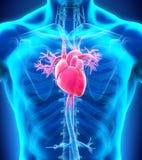 Human Heart Anatomy Stock Images