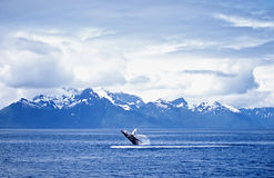 Humpback whale breach Royalty Free Stock Photos
