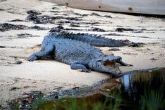 Hungriges Krokodil Stockbild