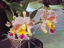 Hybrid orchids Stock Images