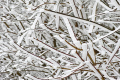 Iced snow on branches Stock Images
