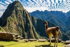 Il lama Machu Picchu rovina il peruviano le Ande Cuzco Perù Fotografie Stock Libere da Diritti