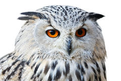 Isolated eagle owl with his big and beautiful oranges eyes Stock Photos