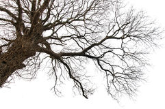 Isolerat dött träd Royaltyfria Bilder