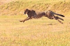 Jachtluipaard die snel loopt Royalty-vrije Stock Fotografie