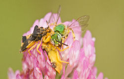 Jagged Ambush Bugs Royalty Free Stock Images